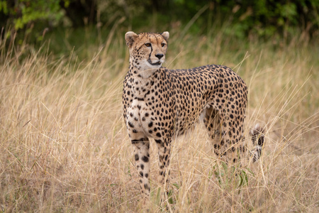 Cheetah standing in long grass beside trees Stok Fotoğraf