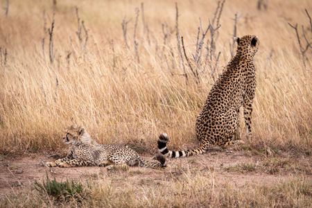Cheetah sitting and cub lying in grass