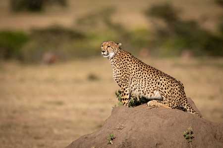 Cheetah sits on termite mound looking out