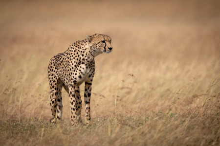 Cheetah standing in long grass facing right Stok Fotoğraf