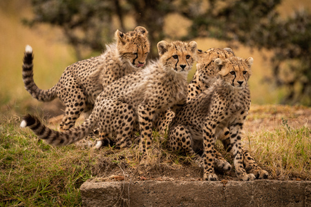 Cheetah sitting on grass with three cubs Archivio Fotografico