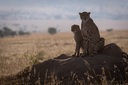 Cheetah sits on termite mound with cub
