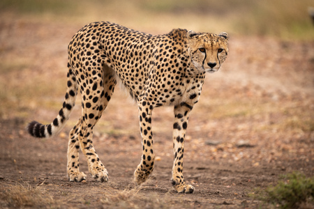 Cheetah walks down dirt track lifting paw
