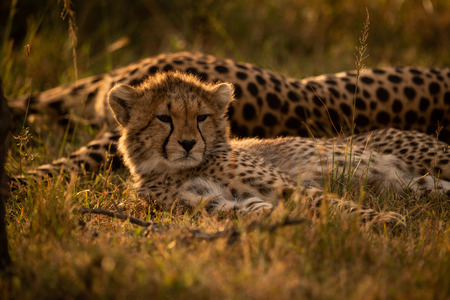 Close-up of backlit cheetah cub with mother