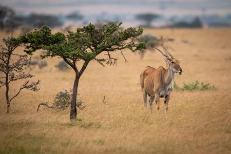 Eland stands staring at camera by tree