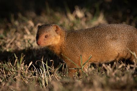 Dwarf mongoose stands in grass facing camera