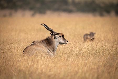 Eland lying in long grass near warthog