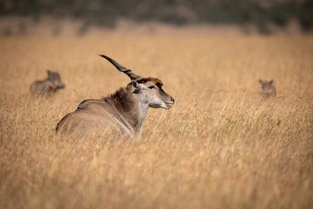 Eland lies in long grass near warthog