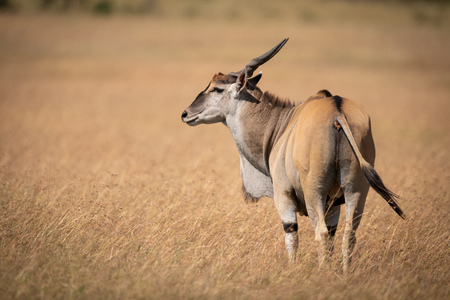 Eland standing in long grass turns head Stock Photo