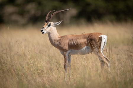 Grant gazelle opens mouth standing in grass