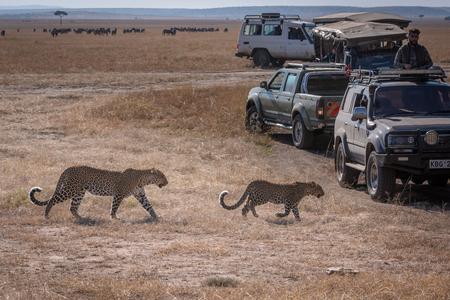 Leopard and cub walk past safari trucks Editorial