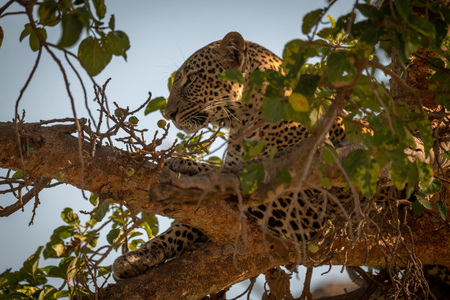 Leopard lying high in branches of tree