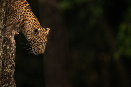 Leopard stares out from lichen-covered tree stump