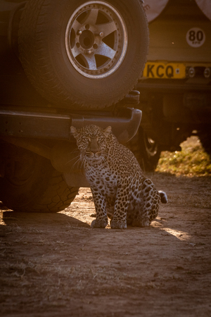 Leopard sits in shadow of two trucks
