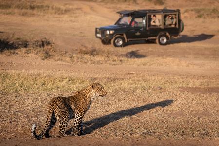 Leopard stands in grass near safari truck Editorial