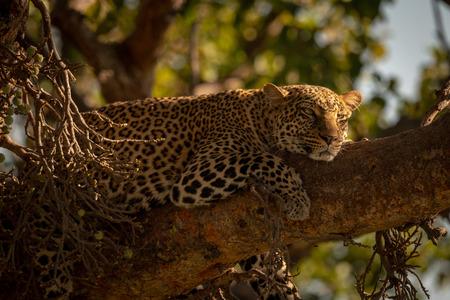 Leopard lies sleepily on branch in sunshine