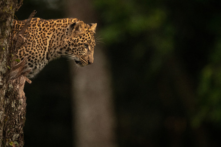 Leopard staring out from lichen-covered tree stump