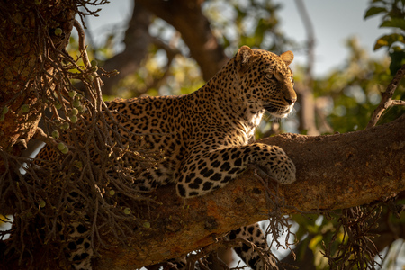 Leopard lies on branch of fig tree Stock Photo