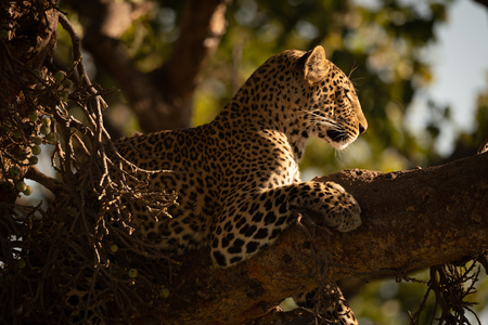 Leopard lying in tree with head raised