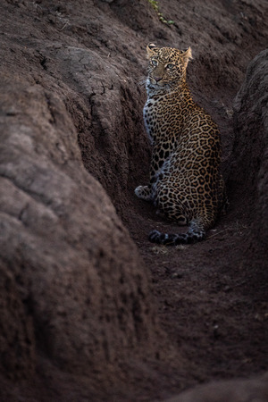 Leopard sitting in earth ditch facing camera Stock Photo