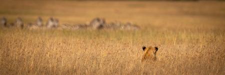 Lion hides in long grass watching zebra