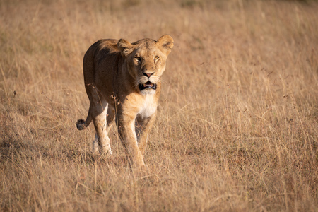 Lion in sunshine walking through long grass