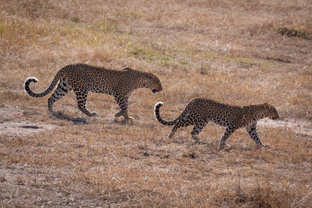 Leopard walks over short grass with cub