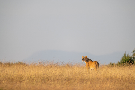Lioness stands on horizon in long grass