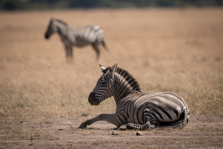 Plains zebra lies on grass near another