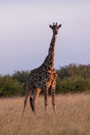 Masai giraffe stands in grass facing camera
