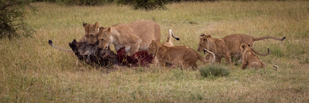 Panorama of lionesses eating wildebeest and cubs Stock Photo