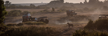 Panorama of leopard standing surrounded by trucks