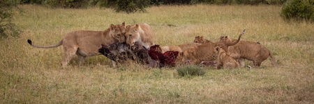 Panorama of lions and cubs eating wildebeest