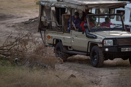 People watch leopard passing truck in savannah Editorial