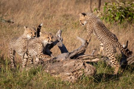 Three cheetah cubs leaning on dead log Фото со стока