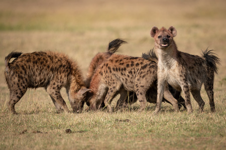 Spotted hyena with pack stands facing camera