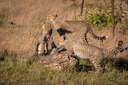 Three cheetah cubs climbing on dead log