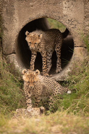 Three cheetah cubs in and around pipe