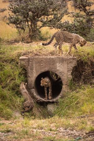 Three cheetah cubs playing around concrete pipe Stok Fotoğraf