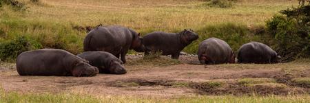 Six hippos lying and standing on savannah Stok Fotoğraf