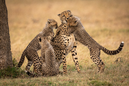 Three cheetah cubs surrounding mother on grass Фото со стока