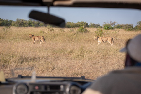 Two lionesses seen through windscreen of truck