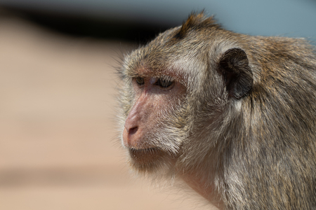 Close-up of long-tailed macaque shoulders and head