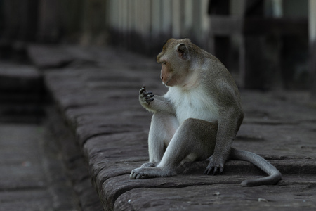 Long-tailed macaque on wall stares at hand