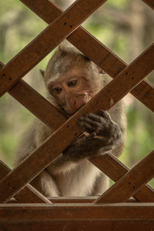 Long-tailed macaque sits nibbling wooden trellis window