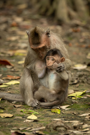 Long-tailed macaque sits nursing baby among leaves