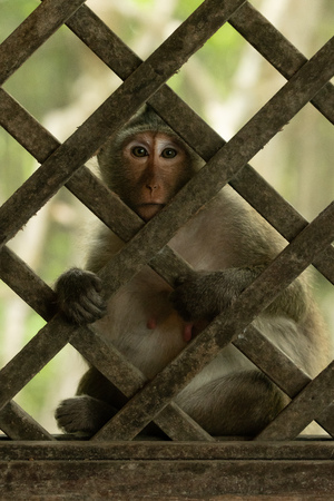 Long-tailed macaque sits in wooden trellis window