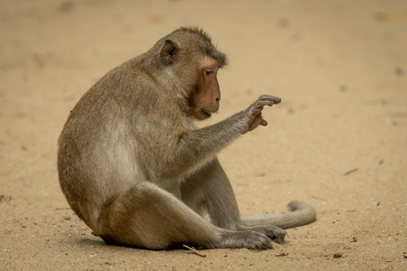 Long-tailed macaque sits staring at right paw Banco de Imagens