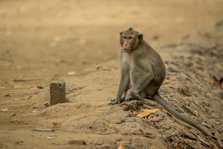 Long-tailed macaque sits on sand beside post Banco de Imagens