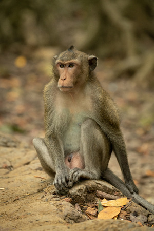 Long-tailed macaque sits on rock amongst leaves Banco de Imagens